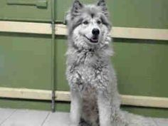#A4813260 My name is Spike and I'm an approximately 1 year, 2 month old male siberian husky. I am already neutered. I have been at the Carson Animal Care Center since March 30, 2015. I am available on March 30, 2015. You can visit me at my temporary home at C211. My former family who owned me for about a year had to give me up http://www.petharbor.com/pet.asp?uaid=LACO1.A4813260 Carson Shelter, Gardena, California