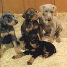 how to train a doberman puppy to come