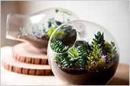 A SLIDE SHOW of great terrariums on The New York Times page. Article by Emily Weinstein about the terrariums (some of succulents) made by various designers and artists.