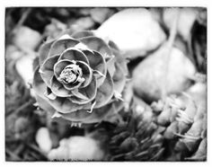 Pine cone, New Forest