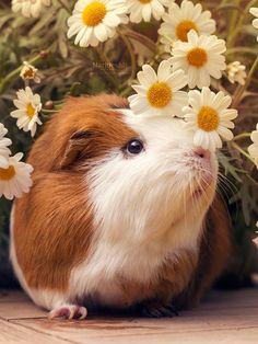 """Learn About Taking Care Of Guinea Pigs. Photo by petercooperuk Guinea pigs, also called """"cavies"""" are perfect for households with kids. These fluffy creatures can make the cutest and gentlest pet Hamsters, Happy Animals, Cute Baby Animals, Animals And Pets, Farm Animals, Baby Guinea Pigs, Guinea Pig Care, Guine Pig, Pig Pics"""