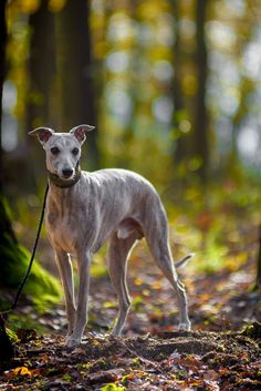 Whippet in the wood by Michael Kriesel Unique Dog Breeds, Rare Dog Breeds, Hound Breeds, Popular Dog Breeds, Puppies And Kitties, Doggies, Whippet Dog, Paws And Claws, Grey Hound Dog