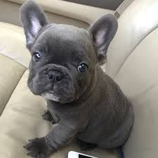 A blue French Bulldog for puppy snuggles
