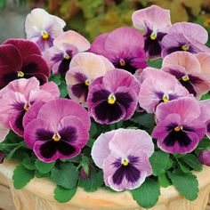 Pansy Matrix Pink Shades - 40 Plug Plants A breakthrough in modern Pansy breeding these large flowered Pansies have been proven to give outstanding