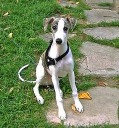 It's plain to see, Whippets are incredibly fast animals. They can run as fast as 40 miles per hour. But in the home they are relaxed and discreet, displaying excellent manners and just the right amount of charm. They love to cuddle on the couch for hours and hours, soaking up the love and attention. Also, these are handsome creatures, brightening up any old boudoir.