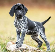 Discover Kid Friendly German Shorthaired Pointer Dogs Exercise NeedsYou can find Hunting dogs and more on our. Gsp Puppies, Pointer Puppies, Pointer Dog, German Pointer Puppy, Pet Dogs, Dog Cat, Pets, Doggies, German Shorthaired Pointer Black