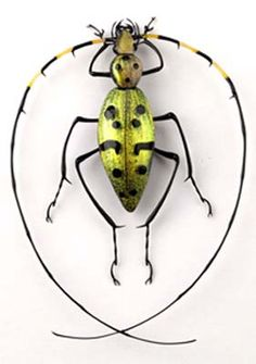 Toffolo, Emanuel. an amazing piece of glass art, not a real bug
