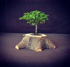 [EN] little tree, wooden flowerpot of old spruce pine [SK] ručne vyrobený drevený kvetináč zo smrekového pňa #slovenskyvyrobok #slovakia #etsy #woods #wood #woodproject #handmade #woodlife #nature #berrywood #naturalwood #photo #gallery #woodwork #tree #oneofkind #unique #original#photooftheday #topwoodworking