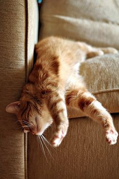 Orange tabby kitty hanging off the soda. Crazy Cat Lady, Crazy Cats, I Love Cats, Cool Cats, Image Chat, Photo Chat, Orange Cats, Ginger Cats, Here Kitty Kitty