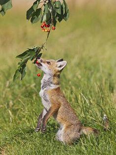 Red Fox Cub Eating Cherries