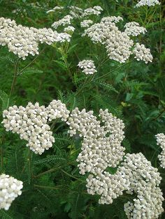 Tree of Life Web Project - Details for Media ID# 36862 Achillea Millefolium, Web Project, Tree Of Life, My Flower, Shrubs, Wild Flowers, Landscape, Plants, Projects
