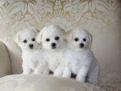 Bichon-Frise-203.  Puppies!