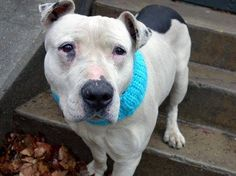 TO BE DESTROYED - 03/30/15 Manhattan Center   My name is BARNEY. My Animal ID # is A1031368. I am a male white and black pit bull mix. The shelter thinks I am about 5 YEARS old.  I came in the shelter as a STRAY on 03/26/2015 from NY 11232, owner surrender reason stated was STRAY. https://www.facebook.com/photo.php?fbid=984430348236511
