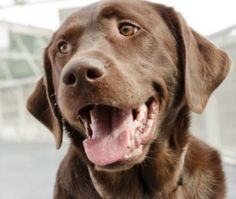 Is your Labrador out of control? We look at a great way to teach your Labrador to control himself.