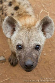 Hyena cub - Lower Sabie Has big ears and the fur gets darker around the nose. Animals And Pets, Baby Animals, Funny Animals, Cute Animals, Wild Animals, Beautiful Creatures, Animals Beautiful, African Wild Dog, Wild Dogs