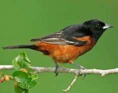 Image of Orchard Oriole
