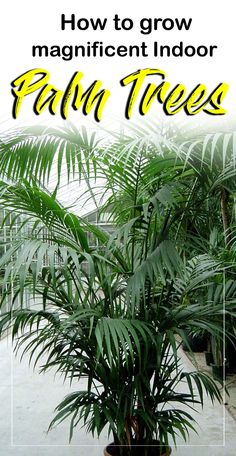 Indoor Container Gardening How to Grow magnificent Indoor Palm Trees Palm House Plants, Potted Palm Trees, Indoor Palm Trees, Potted Palms, Indoor Palms, Palm Tree Plant, Trees To Plant, Indoor Tree Plants, Palm Plants