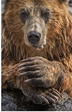Big coastal brown bear nibbling fish and chillin'. Look at the size of those massive paws and claws. Bear Pictures, Animal Pictures, Ours Grizzly, Grizzly Bears, Grizzly Bear Tattoos, Mon Zoo, Alaskan Brown Bear, Bear Claws, Love Bear