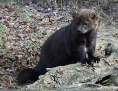 Endangered Fishers are killed by rat poison on marijuana farms