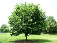 American Yellowwood TreeHow much do you know about the Yellowwood Tree? Check out our tree article here:  http://westchestertreelife.com/2015/07/american-yellowwood-tree/  #yellowwoodtree #yellowwood #tree #trees #leaf #leaves #newenglandtrees #westchester #westchesternewyork #westchestercounty #westchestercountynewyork #westchestercountytreecare #treecare #treecareinnewyork #newyorktreecare #westchestertreelife #westchestertree #arborist #arboriculture #nature #love #beauty #plantlife