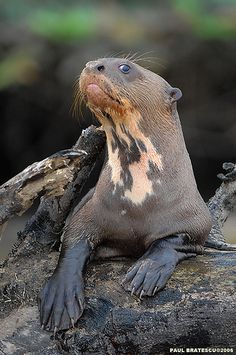 Amazon giant river otter (Pteronura brasiliensis)