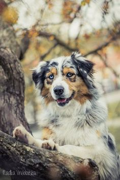 Australian Shepherd puppy sitting in a meadow. Description from pinterest.com. I searched for this on bing.com/images