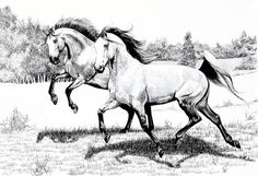 Two Arabians Frolicking In Pasture Drawing