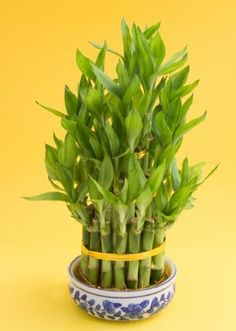 7 Stalks Of Lucky Bamboo Lucky Bamboo Odd Numbered