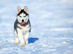 Kleiner #husky mit großen Zielen! Sieht aus als würde der Gute mal einen wunderbaren Schlittenhund abgeben. Und die Augen! 😍😍😍