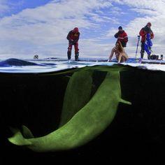 White Sea (-1,5°C) 2011, Polar circle, Russia, White whale, Natalia Avseenko. Photo by Viktor Lyagushkin.