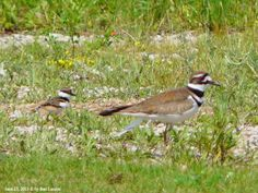 The Killdeer and one of its offsprings