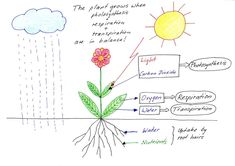 Here's a nice diagram outlining the processes of photosynthesis, respiration, and transpiration in plants.