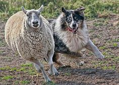 Key dog training tips to help you lead your Australian Shepherd by dog behavior expert and author Sylvia Jay. Learn to channel your Aussie's instinct to your advantage and have a rewarding partnership. Australian Shepherds, Aussie Shepherd, Shepherd Puppies, Australian Sheep, German Shepherds, Herding Dogs, Purebred Dogs, Aussie Dogs, Mini Aussie