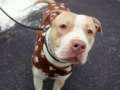 SAFE 03/23/15!  Was TO BE DESTROYED - 02/24/15 Manhattan Center -P  My name is PRINCESS. My Animal ID # is A1027150. I am a female tan and white am pit bull ter mix. The shelter thinks I am about 1 YEAR.  For more information on adopting from the NYC AC&C, or to  find a rescue to assist, please read the following: http://urgentpetsondeathrow.org/must-read/