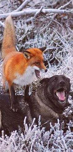 Surprising friendship between Norwegian dog and wild fox  #best friend animal pet cub puppy nature