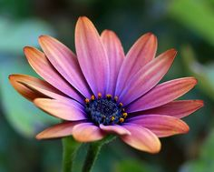 This is an African Daisy. The color is called Copper Amethyst.