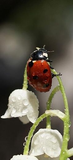 LadyBug wet with dew. Either a large lady bug, or a teeny tiny flower! Beautiful Bugs, Amazing Nature, Beautiful Flowers, White Flowers, Simply Beautiful, Red Roses, Beautiful Creatures, Animals Beautiful, Cute Animals