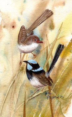 Blue wrens pair 448 - Version 2