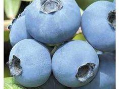 Nově naskladněno - Zahradnictvi Spomyšl Easter Eggs, Blueberry, Fruit, Berry, Blueberries