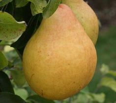 from Orange Pippin gruit trees   Moonglow pear tree -Moonglow is a high-quality early-season pear. The fruits are large with a sweet flavor, reminscent of Bartlett and Comice from which it is descended.    As with most pears, pick slightly early and then ripen indoors. Newly-picked fruits will have some acidity and can be used at this point for cooking.