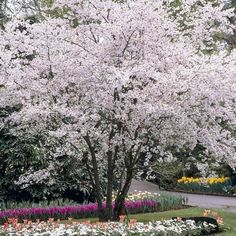 Only the best quality trees and shrubs are supplied by Suttons. Browse evergreen shrubs, ornamental trees, fragrant shrubs, hedging and much more. Flowering Cherry Tree, Cherry Blossom Tree, Blossom Trees, Blossom Garden, Sutton Seeds, Fast Growing Trees, Prunus, Small Plants, Small Trees