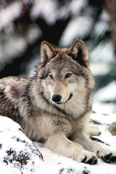 Bart, Gray Wolf at 10 Months at Wolf Haven International Center