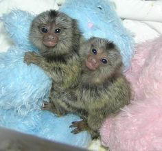 how to look after a marmoset monkey uk