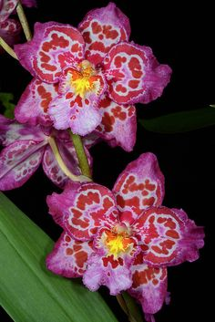 **Oncidopsis Teipels Yofi (Yokara x Oncidium Findelkind) -  Flickr - Photo Sharing!