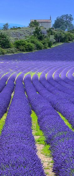 Lavender rows as like as http://www.propreview.in/bangalore/prestige-song-of-the-south