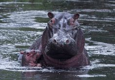 A baby hippo bobs next to its mother, in Kenya's Masai Mara game... - http://fun.leakhunt.com/a-baby-hippo-bobs-next-to-its-mother-in-kenyas-masai-mara-game/ #andFunny, #bestLOL, #cars, #fineCars, #freeFunny, #Fun, #Funny, #funnyBirthday, #funnyChristmas, #funnyFlash, #funnyFree, #funnyFreeMonologues, #funnyGames, #funnyHalloween, #funnyJokes, #funnyMovies, #funnyNicknames, #funnyPics, #funnyPictures, #funnyPoems, #funnyPumpkin, #funnyPumpkinDesigns, #funnyQuotes, #funnyStu