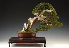 The Art of Bonsai Project - Feature Gallery: Juniper Bonsai   Artist: Steve Tolley Shimpaku Juniper (Juniperus chinensis)