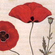Poppies, from the manuscript called the Codice Rinio, after Benedetto Rinio, its second owner, or the Codice Roccobonella, after the Padua-based physician Nicolò Roccabonella, who commissioned it ca. 1445.