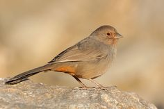 California towhee (Melozone crissalis) - native to the coastal regions of western Oregon and California in the United States and Baja California Sur in Mexico