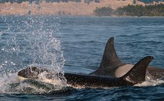 Snake River Dams in Washington Starving Endangered Killer Orca Whales | Care2 Causes